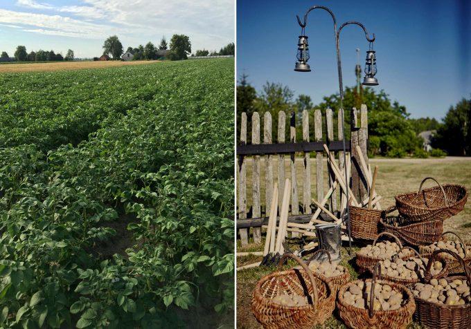 potato plants and potato harvest